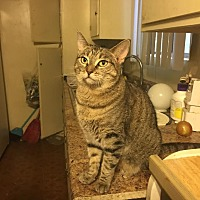 Domestic Shorthair Cat for adoption in Los Angeles, California - Bonita