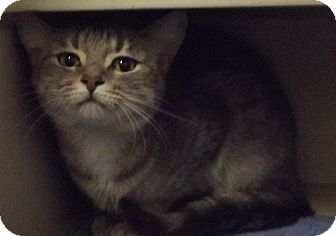 Domestic Shorthair Cat for adoption in Cheboygan, Michigan - Jewell