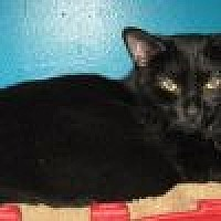 Domestic Shorthair Cat for adoption in Powell, Ohio - Destiny