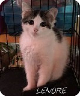 Domestic Longhair Kitten for adoption in Great Neck, New York - Lenore