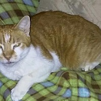 Domestic Shorthair Cat for adoption in Orlando, Florida - Speedway