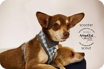 Miniature Pinscher/Chihuahua Mix Dog for adoption in Aqua Dulce, California - Scooter