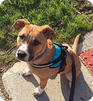Boxer Mix Puppy for adoption in Columbus, Ohio - Finn