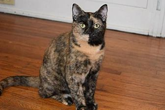 Domestic Shorthair Cat for adoption in Knoxville, Tennessee - Sissy Female