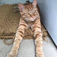 Adopt A Pet :: GOPA - El Segundo, CA