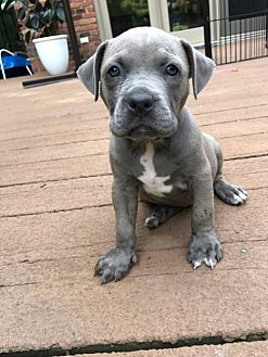 American Pit Bull Terrier Mix Puppy for adoption in Belleville, Michigan - Princess (adoption pending)