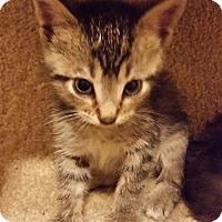 Adopt A Pet :: Simba - Baltimore, MD
