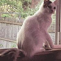 Adopt A Pet :: Billy part mainecoon - Clay, NY