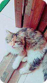 Persian Kitten for adoption in NYC, New York - Sha Sha Calico Purrsian