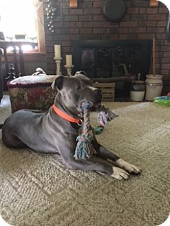 American Staffordshire Terrier Dog for adoption in Poland, Indiana - Abner