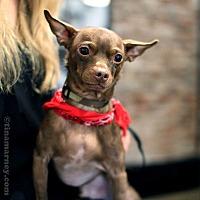 Adopt A Pet :: Sergei! *Adoption Pending* - New York, NY