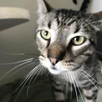 Adopt A Pet :: Cheetah - Belle Chasse, LA