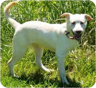 Labrador Retriever Mix Dog for adoption in Osseo, Minnesota - Tango