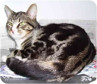 Domestic Shorthair Cat for adoption in Somerset, Pennsylvania - Scruffy
