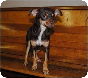 Chihuahua Dog for adoption in Nanuet, New York - Coco