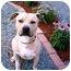 Photo 3 - American Pit Bull Terrier Dog for adoption in Gainesboro, Tennessee - Tone