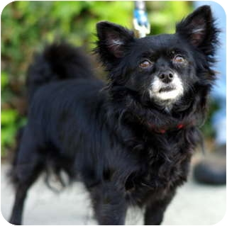 Chihuahua Dog for adoption in Los Angeles, California - Pablo
