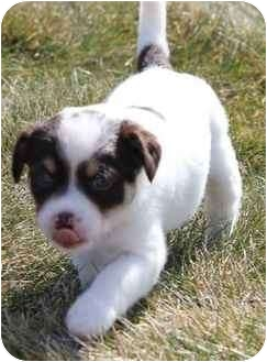 Fox Terrier (Smooth) Mix Puppy for adoption in Kalamazoo, Michigan - Chesney
