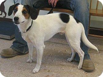 Spaniel (Unknown Type)/Beagle Mix Dog for adoption in Berea, Ohio - Turbo