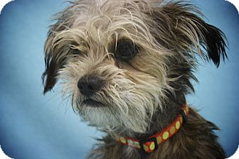Cairn Terrier/Terrier (Unknown Type, Small) Mix Dog for adoption in Broomfield, Colorado - Inspector