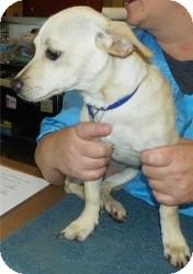 Dachshund/Chihuahua Mix Dog for adoption in Phoenix, Arizona - Coconut