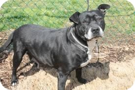 American Staffordshire Terrier Mix Dog for adoption in East Rockaway, New York - Shaka