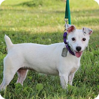 Parson Russell Terrier Mix Dog for adoption in Columbia, Illinois - Sydney