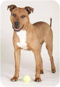 American Pit Bull Terrier Mix Dog for adoption in Chicago, Illinois - Brownie