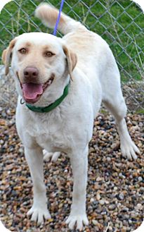 Labrador Retriever Mix Dog for adoption in Fruit Heights, Utah - Remy
