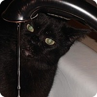 Domestic Shorthair Cat for adoption in Palatine, Illinois - Buddy