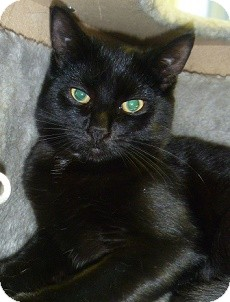 Domestic Shorthair Cat for adoption in Hamburg, New York - Black Pearl