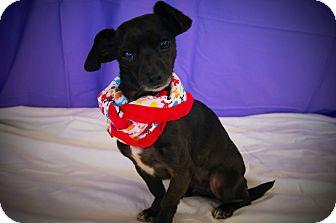 Chihuahua/Dachshund Mix Dog for adoption in Princeton, Kentucky - Selena