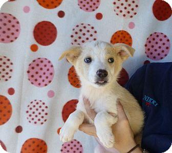 Sheltie, Shetland Sheepdog Mix Puppy for adoption in Oviedo, Florida - Lil