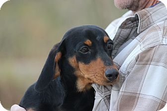 Dachshund Puppy for adoption in Coventry, Rhode Island - Jax