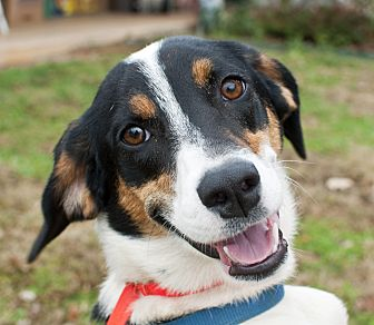Australian Shepherd/Hound (Unknown Type) Mix Dog for adoption in Tanner, Alabama - Sydney