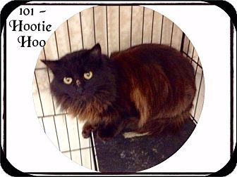 Domestic Longhair Cat for adoption in Dillon, South Carolina - Hootie Hoo