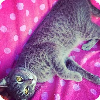 Domestic Shorthair Cat for adoption in Rancho Cucamonga, California - Stormy