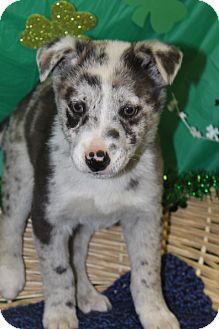 Catahoula Leopard Dog Mix Puppy for adoption in Waldorf, Maryland - Merle