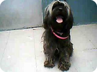Lhasa Apso/Cockapoo Mix Dog for adoption in Long Beach, California - Sassy