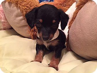 Dachshund/Spaniel (Unknown Type) Mix Puppy for adoption in Higley, Arizona - ROBBIE