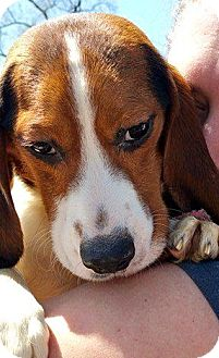 Beagle Dog for adoption in Indianapolis, Indiana - Snaggle