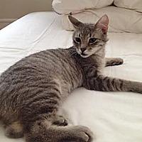 Domestic Shorthair Kitten for adoption in New York, New York - Sasuke
