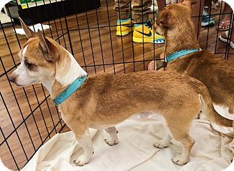 Chihuahua Mix Dog for adoption in Ft. Lauderdale, Florida - Brownie