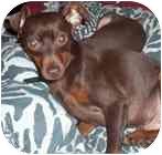 Miniature Pinscher Mix Dog for adoption in Greensboro, North Carolina - Cosmo