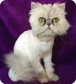Persian Cat for adoption in Nashville, Tennessee - Marcus