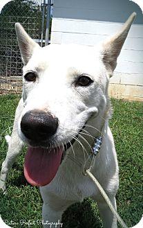 German Shepherd Dog Mix Dog for adoption in Harmony, Glocester, Rhode Island - Clare