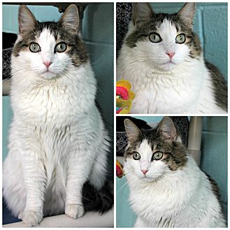 Domestic Longhair Cat for adoption in Forked River, New Jersey - Hildie