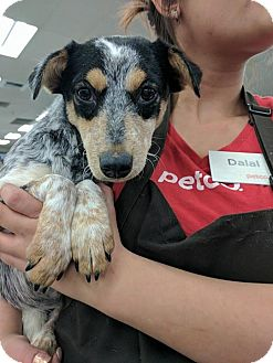 Rat Terrier Mix Puppy for adoption in Olympia, Washington - Cherry