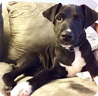 Mixed Breed (Medium) Mix Puppy for adoption in King City, Ontario - Oscar