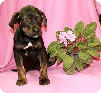 Labrador Retriever/Hound (Unknown Type) Mix Puppy for adoption in Newark, New Jersey - Cadbury